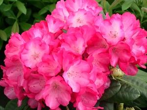 Rhododendron Yakushimanum Fantastica