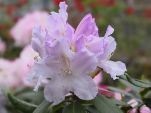 Rhododendron Yakushimanum Hoppy