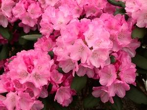 Rhododendron Yakushimanum Isadora