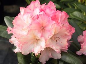 Rhododendron Yakushimanum Loreley