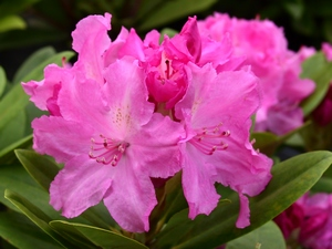 Rhododendron Yakushimanum Lumina
