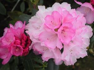 Rhododendron Yakushimanum Milano