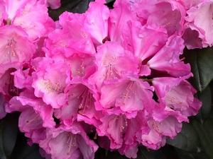Rhododendron Yakushimanum Polaris
