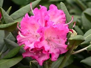 Rhododendron Yakushimanum Rosita