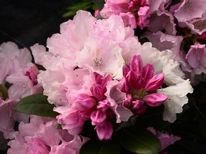 Rhododendron Yakushimanum Silberwolke