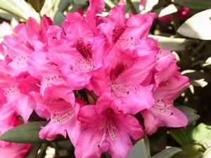 Rhododendron Yakushimanum Sneezy