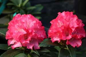 Rhododendron Yakushimanum Solidarity