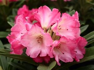 Rhododendron Yakushimanum Surrey Heath