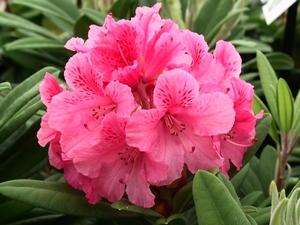 Rhododendron Yakushimanum Sweet Sue