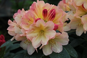 Rhododendron Yakushimanum Youna