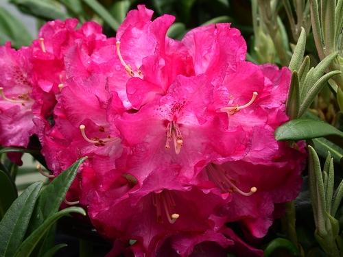Rhododendron Nofretete