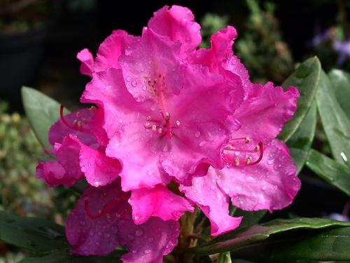 Rhododendron insigne Gabriela